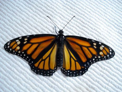 Monarch Butterfly ready to fly.