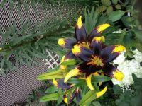 Yellow & Black Lillies