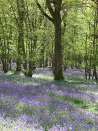 bluebells at arlington