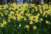 A bank of daffodils