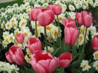 daffs & tulips