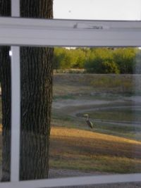 Great Blue Heron outside my window; he's about to get last fish from the almost empty pond