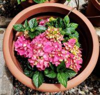 Hydrangea Pot