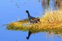 Common Gallinule at Celery Fields