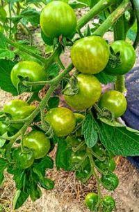 Odrůda Idyll, červené cherry, slaďoučké
