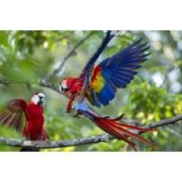 Macaws...