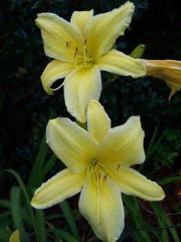 Big Bird daylily