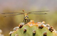 Dragonfly on cactus