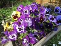 "An  ""Orchestra"" of Pansies in the wheelbarrow planter   (challenge)"