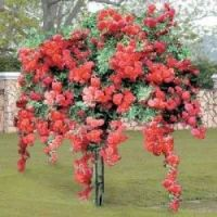 Gorgeous Red Weeping Rose Tree.