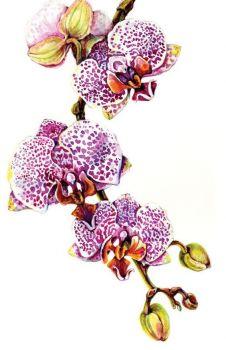 Orchid Phalaenopsis Blume Spotty Dotty