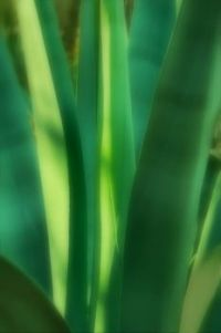 agave upclose 3688