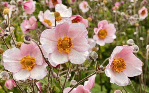 An ocean of pink flowers