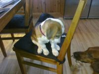 Baby Spot on the chair, looking down at big-brother Otto
