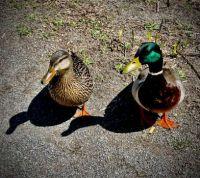 Ducks, Central Park, NYC