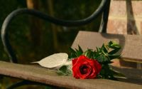 Red Rose on Park Bench