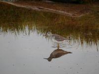 Theme - BIRDS - lesser yellowlegs
