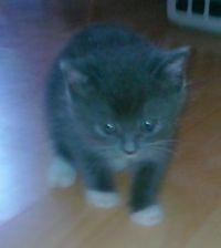 Sox as a kitten