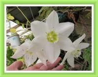 My Eucharis Lily. Smaller.