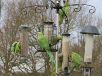 The Rose ringed Parakeets are back in force