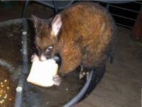 Nightly possum visitor