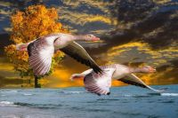 Autumn Geese Migration