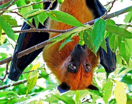 A lovely fruit bat