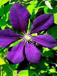 The larger puzzle...Etoile Violette