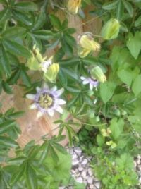 My passion flowers