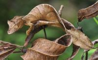 Leaf-Tailed Gecko (large)