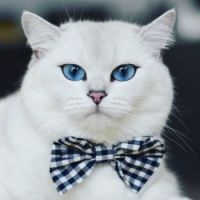 Coby the blue eyed cat‏
