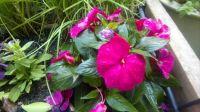 New Guinea Impatiens, Impatiens Balsaminaceae