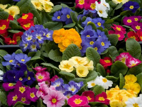 Primroses for Ank & Eaglefeather