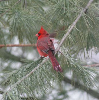 How to catch a Cardinal ~ Put salt on it's tail.