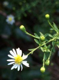 tiny beauty--medium