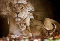 Leeuwin met haar jong