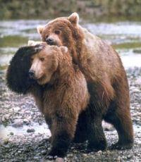 Nesikovný medved a medvedice