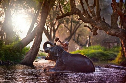 Elephant being bathed by his mahout