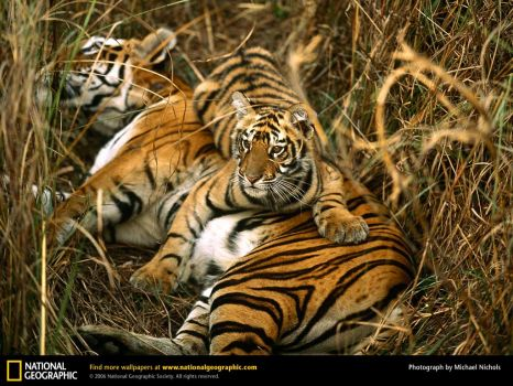 Mother tiger with little one