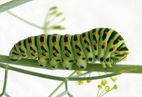 Old World swallowtail, caterpillar (Papilio machaon)
