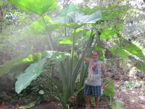 Giant Elephant Ear