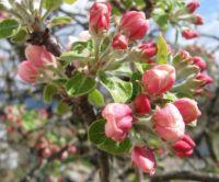 Old apple tree buds