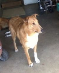 Another picture of Bear, the Smooth Collie