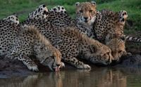Cheetah and Cubs at Watering Hole