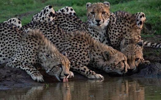 Cheetah and Cubs at Watering Hole