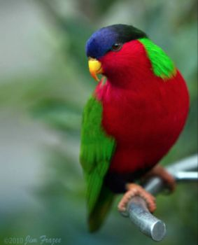 Collared lory!!!