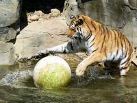 Tiger spielt Wasserball