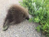 Baby Porcupine.