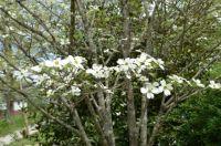 White Dogwood Close-up
