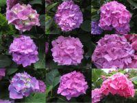 "Collage of my Hydrangea ""Ball"" flowers."
